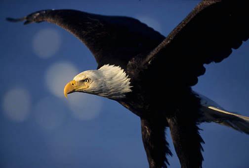 Bald Eagle, (Haliaeetus leucocephalus) Adult in flight. Alaska.
