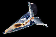 [captive] Sea butterfly or Thecosomata (Hyalocylis striata) is a shelled pelagic snail. Atlantic Ocean, close to Cape Verde | Planktische Meeresschnecke (Hyalocylis striata). Atlantischer Ozean, nahe Kap Verde