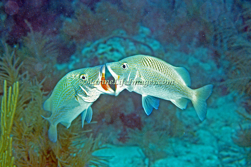 White Grunt inhabit reefs in Tropical West Atlantic, mouth to mouth behavior is a form of fighting; picture taken Key Largo, FL.