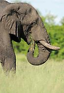 African elephant, Loxodonta sp., Hwange National Park, Zimbabwe