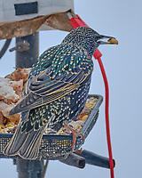 European Starling (Sturnus vulgaris).  Image taken with a Fuji X-H1 camera and 100-400 mm OIS lens.
