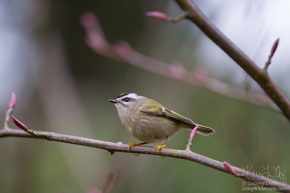 A female golden-crowned kinglet (Regulus satrapa) searches for food on an alder branch in Snohomish County, Washington.  Golden-crowned kinglets mainly eat insects and their eggs, though they will eat seeds in the winter. They breed in the far North and can survive -40 degree nights.