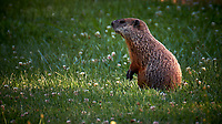 Wary Groundhog. Image taken with a Fuji X-T2 camera and 100-400 mm OIS telephoto zoom lens