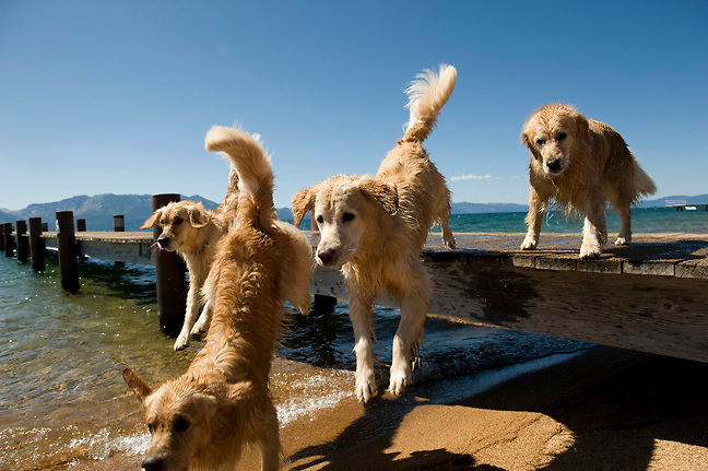 Golden retrievers and great dog photography.