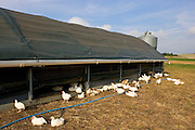 Free-range chickens of breed  Isa 257 roam freely in and out of their mobile barn at Sheepdrove Organic Farm , Lambourn, England
