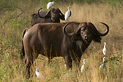 Cape Buffalo, Meru National Park, Kenya