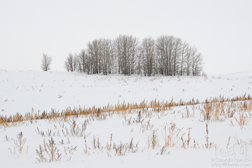 A cluster of trees stands atop snow-covered rolling hills in Ashton, Idaho.