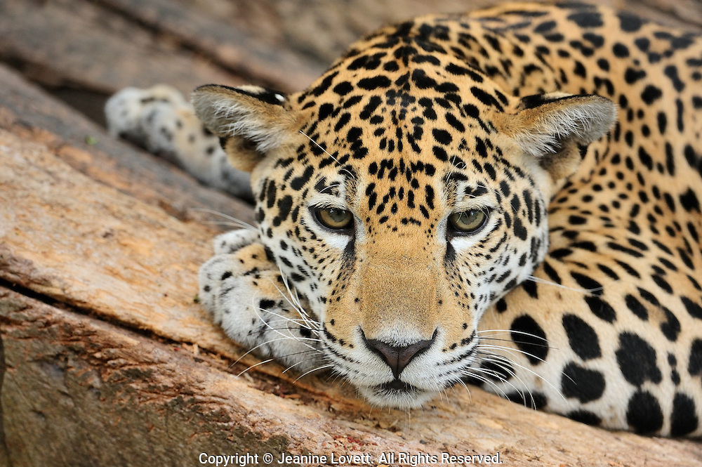 portrait of a jaguar laying down on a log.