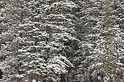 Closeup of snow covered forest in Taos County