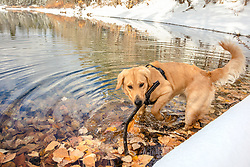 """""""Golden Retriever in Autumn 5"""" - Photograph of a Golden Retriever dog along the snowy shoreline of Coldstream Pond (also known as Donner Pond) near Donner Lake in Truckee, California."""