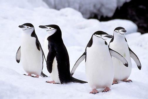 Chinstrap Penguin, (Pygoscelis antarctica) On Zavadoski Island. South Sandwich Islands.