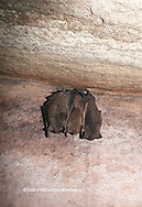 01842-00110 (TF) Indiana bat (Myotis sodalis) Jackson Co.   IL