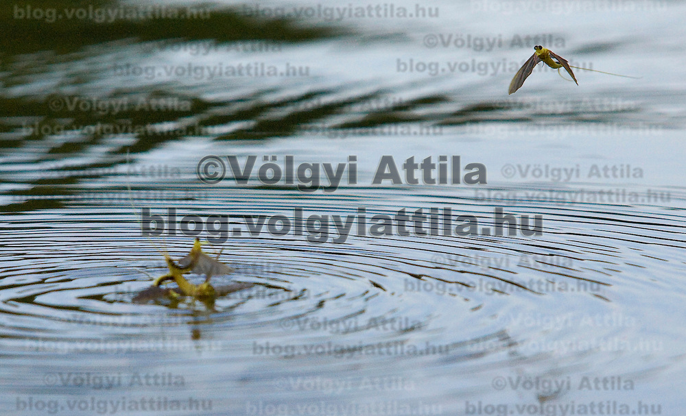 Yearly few days long swarming of the long-tailed mayfliy (Palingenia longicauda) on the river Tisza in Tiszakürt (some 135 km south-east from Budapest), Hungary. Monday, 15. June 2009. ATTILA VOLGYI The long-tailed mayfly larves live 3 years under water level in the river banks then swarm out for a one day period of their life to die after mating.