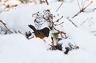 A Spotted Towhee (Pipilo maculatus) in the snow of the Fraser Valley of British Columbia, Canada