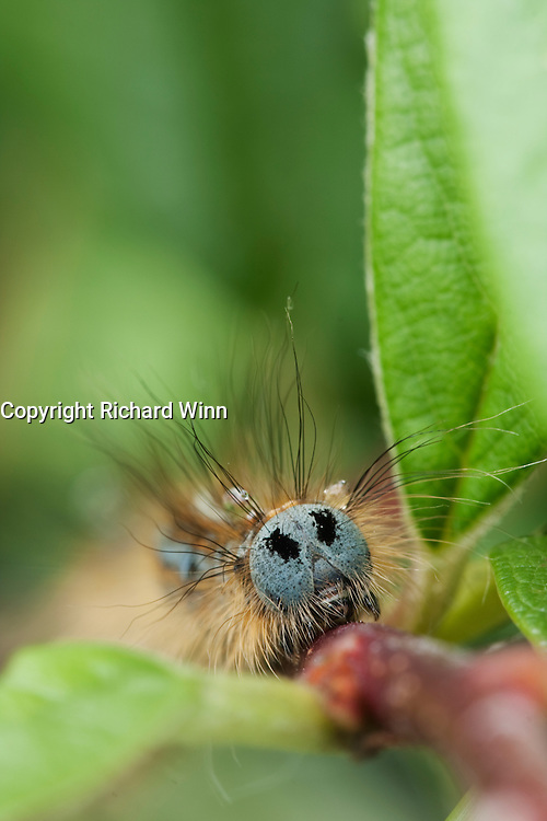 Head on macro view of a Lackey Moth caterpillar on a Cotoneaster branch after heavy rain, showing some water droplets.
