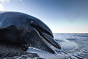 Stranded whale on the south coast of Iceland, near Vík in Mýrdalur