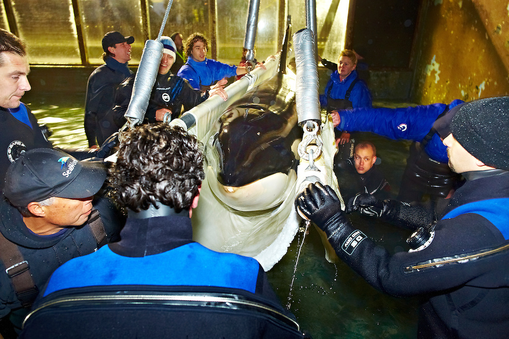 Nederland Harderwijk 29-11-11 Dolfinarium Verhuizing Orka Morgan naar Tenerife Foto: Marco Hofste