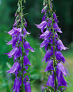 Bellflowers, Campanula sp., blooming in the garden of Paulette Waddell, Matanuska Valley, Wasilla, Alaska.
