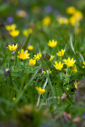 Lesser Celandine, the spring buttercup. Ranunculus ficaria.