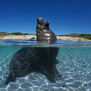 Adult male Australian sea lion yawning while relaxing in shallow water at Carnac Island in Western Australia