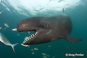 false killer whale, Pseudorca crassidens