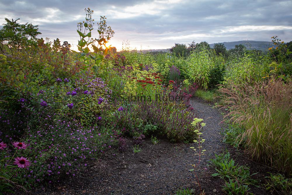 Patrinia scabiosifolia 'Gold Lace' ,Wildegoose Nursery, Shropshire
