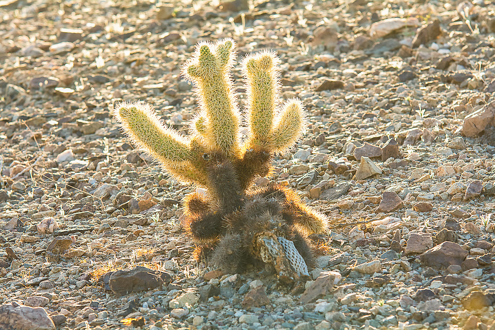 """From personal experience, the teddybear cholla (named for the thick, bristling spines that almost look like soft fur) are a real eye-opener when one first makes physical contact with this native of the American Southwest. Casual passing contact will not only cause immense sharp pain, but the piece of the cactus touched will detach from the main part of the plant and tag along for the ride. This evolutionary and reproductive tactic is why this cholla is often called the """"jumping cholla"""" - it will hop a ride with anything that touches it, eventually fall to the ground and once it roots, grow a whole new cactus. This one was found growing (without touching) along the side of a dried-out arroyo in a nameless canyon in Southern California's Anza-Borrego Desert in San Diego County."""