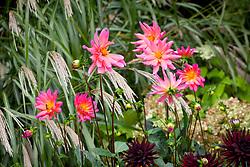 Dahlia 'Karma Fuchsiana' with D. 'Tamburo' , Miscanthus 'Silver Feather' and Hydrangea arborescens 'Annabelle'