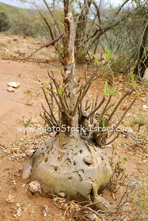 Africa, Ethiopia, Omo River Valley, Flowering Desert Rose (Adenium obesum)