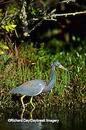 00697-00309 Tricolored Heron (Egretta tricolor) fishing J.N. Ding Darling National Wildlife Refuge   FL