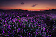 Amazing landscape of lavender field with violet rows and orange sky