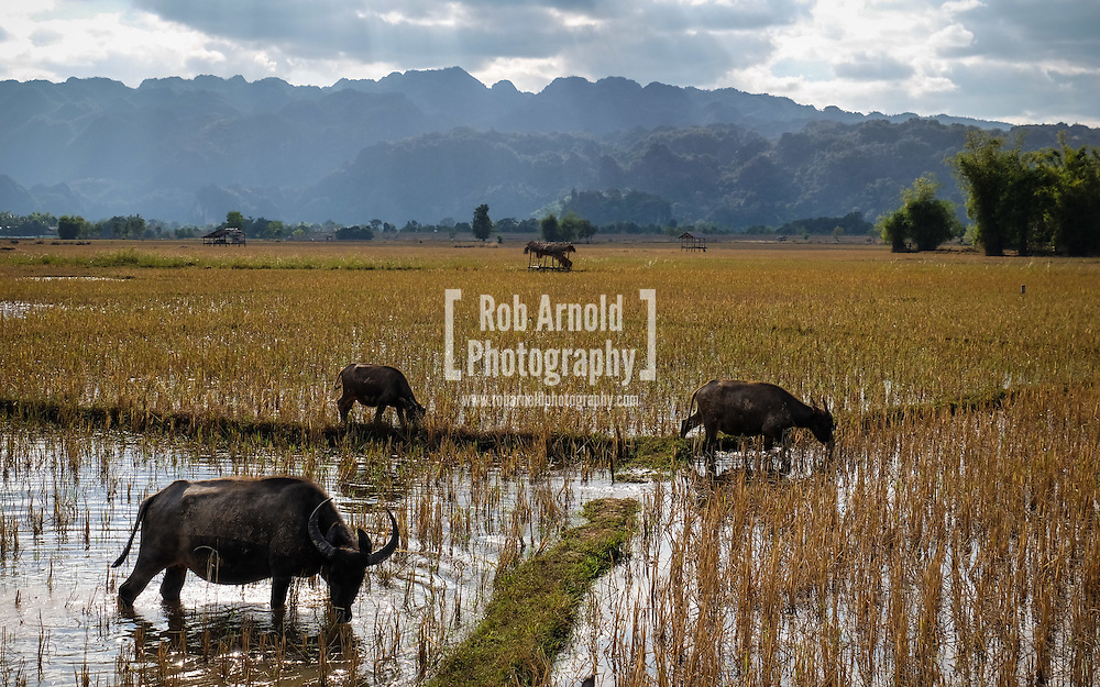 Buffalo grazing in the harvesting rice paddies near Mahaxay, Laos. The area is popular with tourists driving their motorbikes in 'The Loop', which starts and ends in the nearby riverside town of Thakhek.