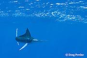 free swimming striped marlin, Kajikia audax, with dorsal fin raised to make a turn, Vava'u, Kingdom of Tonga, South Pacific