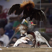 THE PHILIPPINES (Manila). 2009. Two game cocks, each with three inch razor sharp blades fastened to their left ankles fight to the death at the Makati, Makati City, Manila. Photo Tim Clayton <br /> <br /> Cockfighting, or Sabong as it is know in the Philippines is big business, a multi billion dollar industry, overshadowing Basketball as the number one sport in the country. It is estimated over 5 million Roosters will fight in the smalltime pits and full-blown arenas in a calendar year. TV stations are devoted to the sport where fights can be seen every night of the week while The Philippine economy benefits by more than $1 billion a year from breeding farms employment, selling feed and drugs and of course betting on the fights...As one of the worlds oldest spectator sports dating back 6000 years in Persia (now Iran) and first mentioned in fourth century Greek Texts. It is still practiced in many countries today, particularly in south and Central America and parts of Asia. Cockfighting is now illegal in the USA after Louisiana becoming the final state to outlaw cockfighting in August this year. This has led to an influx of American breeders into the Philippines with these breeders supplying most of the best fighting cocks, with prices for quality blood lines selling from PHP 8000 pesos (US $160) to as high as PHP 120,000 Pesos (US $2400)..