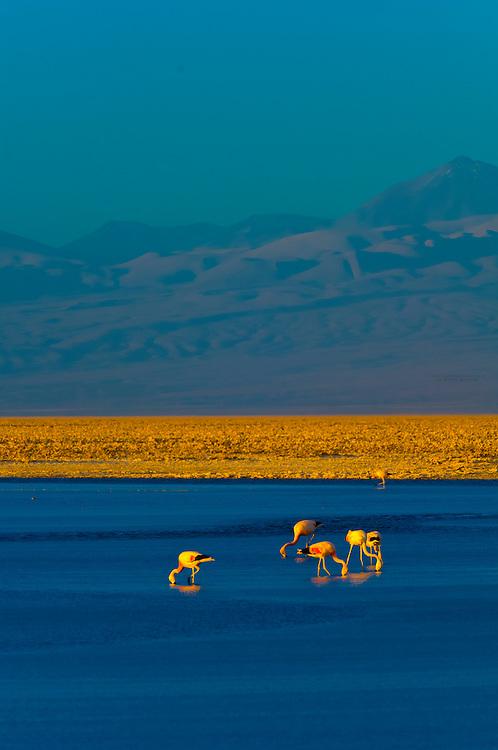 James' Flamingos, Chaxa Lagoon, Atacama Salt Flat (Salar de Atacama), Los Flamencos National Reserve, Atacama Desert, Chile