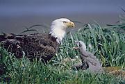 Alaska. Bald Eagle (Haliaeetus leucocephalus)  and chick.  Mate for life. Raise up to three chicks per year.