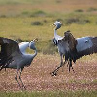 Anthropoides paradiseus, South Africa