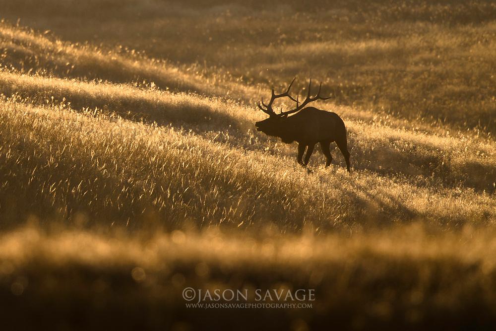 Elk on Montana's National Bison Range.