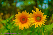 20170819_sunset_hass_sunflowers_21_morning_glories_22_tol_flowers_diane_duthie_