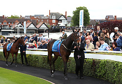 Arthur's Spirit in the parade ring before the Stellar Group Lily Agnes Conditions Stakes during City Day of the 2018 Boodles May Festival at Chester Racecourse.