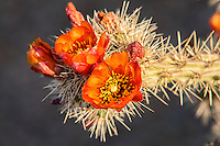 Common in Eastern Arizona and Southern California, the buckhorn cholla gets its name from its similarity in appearance to deer antlers. Similar to many other cactus species in the Southwest, the mature fruits of the staghorn cholla drop off long before it blooms during the next season, therefore you will never see one with both fruits and flowers at the same time. This was photographed a couple of miles from the Mexican border in extreme Southwestern Arizona.