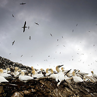 Gannets flying in the sky around Bass Rock in the River Forth. Scotland, UK..Picture Michael Hughes/Maverick ..THE GANNET is Britain's largest seabird with a wing span of just under two meters. From January onwards 140,000 Atlantic gannets return to the Bass Rock, the world's largest single rock gannet colony. Returning to the same mate and the same nest every year, they spend most of the year on the Bass, until the end of October, when the last chicks set out on their long journey down to the West Coast of Africa, with the adults returning again in January.....