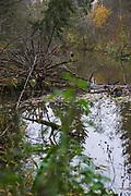 Fallen deadwood - a spruce (Picea abies) - in river Amula in autumn, Kurzeme, Latvia Ⓒ Davis Ulands   davisulands.com