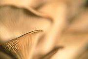 Close up selective focus photo of Oyster Mushrooms