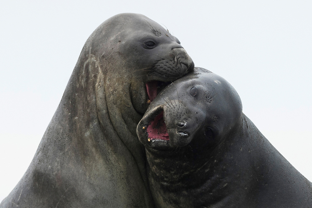 Southern elephant seals fight on Friday, Feb. 2, 2018 in St. Andrew's Bay, South Georgia. (Photo by Ric Tapia)