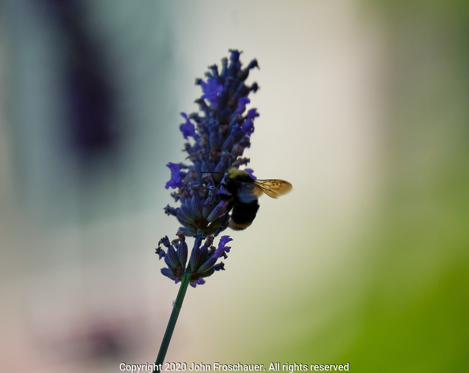 Bees gathering pollen on lavender flowers, Monday, Aug. 3, 2020, in Tacoma. (Photo/John Froschauer)