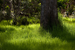 Morning sunlight dances around in the grass at the base of eucalyptus trees in the Namakanipaio campground in Hawaii Volcanoes National Park on the Big Island of Hawaii.