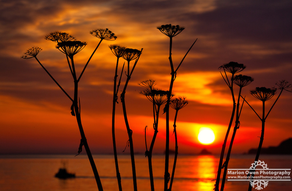 Sunrise through stalks of late summer cow parsnip, Chiniak Bay, Kodiak, Alask