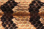 Canebrake or Timber Rattlesnake (Crotalus horridus) CAPTIVE, Skin Detail<br /> The Orianne Indigo Snake Preserve<br /> Telfair County. Georgia<br /> USA<br /> HABITAT & RANGE: Coastal Habitat. South Eastern USA
