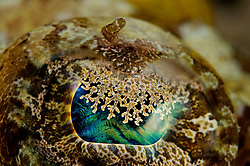 Papilloculiceps longiceps, Teppich Krokodilfisch, Detailaufnahme vom Kopf, Auge mit Pupille des Krokodilfisches, Tentacled flathead, Detail from the Head, Eye with pupil or eye lappets of the Crocodilefish, Rotes Meer, Ägypten, Red Sea Egypt